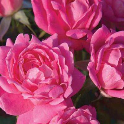 The Rose Petal