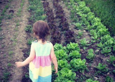 lettuce-fields